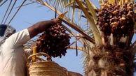 افزایش ۴ برابری قیمت خرما از تولید تا بازار