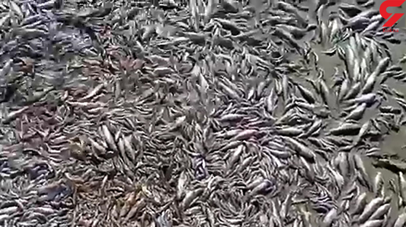 مرگ هزاران ماهی در فاجعه دریاچه هامون ! + فیلم