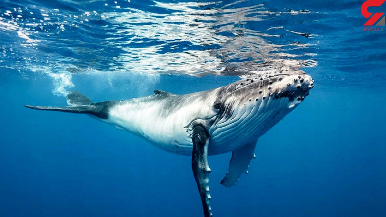 فیلم لحظه لحظه جان دادن نهنگ به گل نشسته ! + فیلم