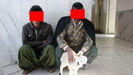گوسفند زنده با معده پر از مواد مخدر! / پلیس زابل کشف کرد