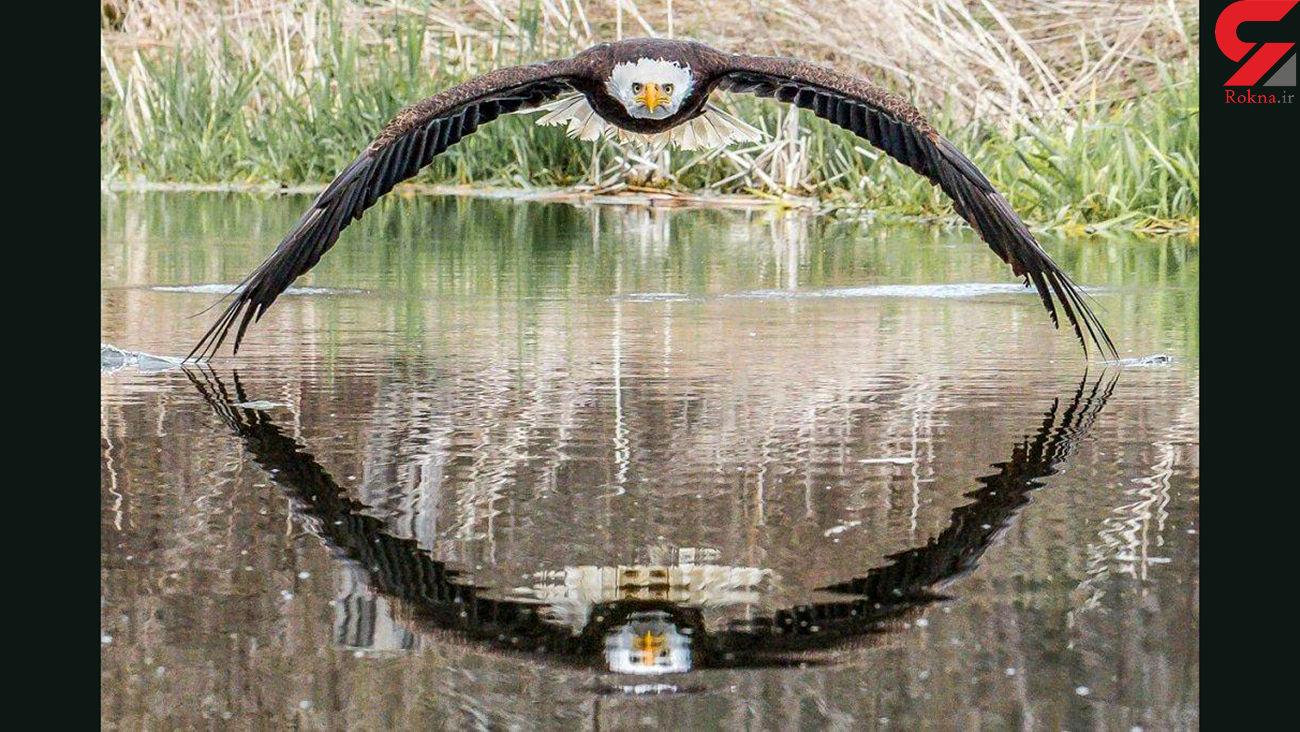 پرواز عقاب سرسفید + عکس