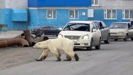 خرس قطبی در خیابان های روسیه + عکس