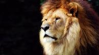 شکارچیان غیرقانونی خوراک شیرها شدند!