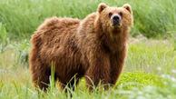 کشته شدن یک  خرس در مشگینشهر / عامل کشتار بازداشت می شود