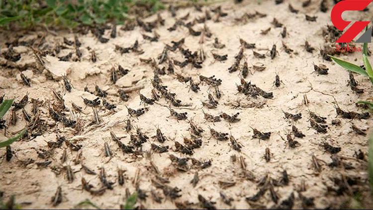 حمله ملخها امنیت غذایی را تهدید میکند/ ملخمرده غیرقابل مصرف است