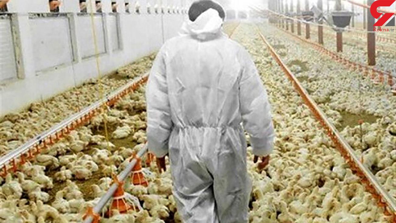 قتل عام مرغها بعد از دریافت دان مرغ یارانهای!