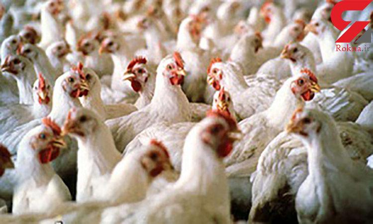 کشف بیش از ۳ هزار مرغ قاچاق در بهار