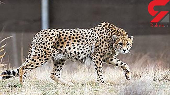 یک روز برای یوزپلنگ های ایرانی / نجاتشان دهیم !