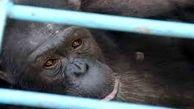 مرگ شامپانزهی 18 ساله در باغ وحش ارم /  توضیح محیط زیست استان تهران