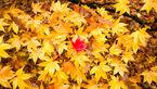 برگ ها ی پاییزی درختان بازیافت می شود