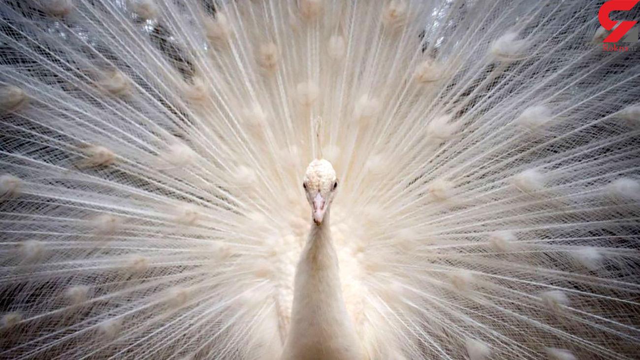 این طاووس سر تا پا سفید رنگ است + عکس