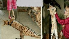 طویل ترین گربه جهان+عکس