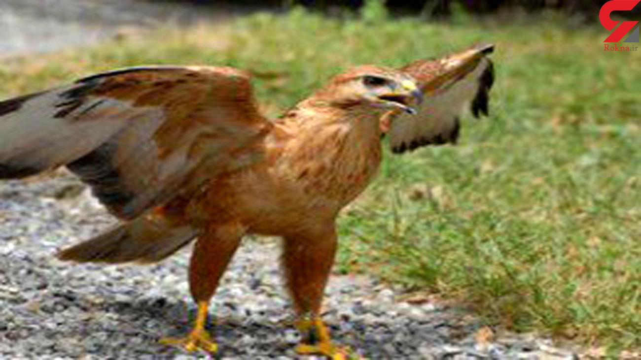رهاسازی یک بهله عقاب طلایی در پارک ملی بمو