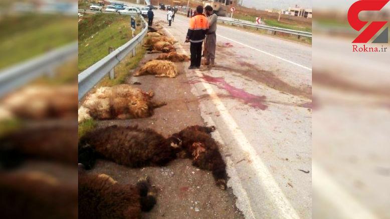 تریلی به گله بزرگ گوسفندان زد و32 گوسفند را تلف کرد + عکس