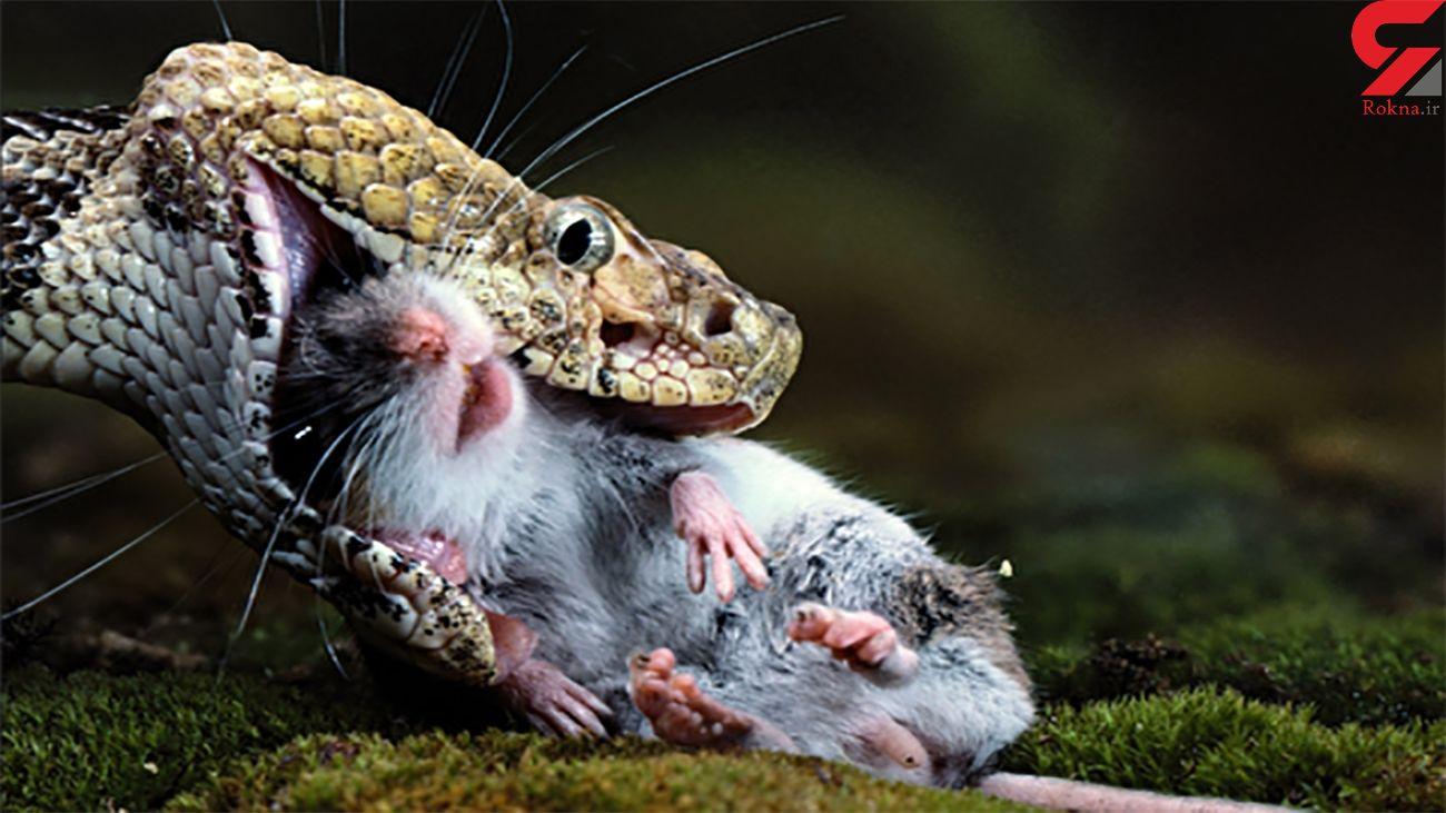 سرعت حیرت انگیز مار در شکار موش + فیلم