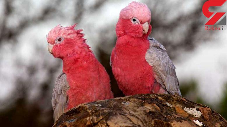 زیباترین طوطی های دنیا با پرهایی شگفت انگیز و رویایی +تصاویر