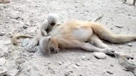 گریه های بچه میمون بالاسر جسد مادرش + فیلم
