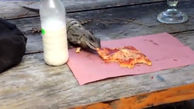 وقتی ایگوانای شکمو پیتزا می خورد+ فیلم و عکس