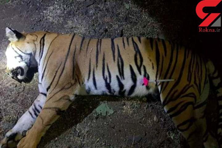ببر آدمخوار کشته شد / او 13 تن را پاره پاره کرد + عکس