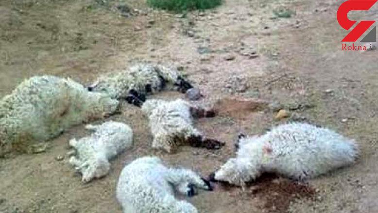 400 راس گوسفند در حمله پلنگ تلف شدند / در کرمانشاه رخ داد
