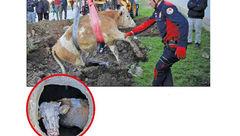 سگ باهوش یک گاو را از مرگ نجات داد+ عکس