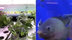رشد بیشتر گیاهان در مجاورت ماهی ها + فیلم