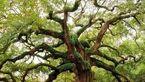 عجیب ترین درختان دنیا که انسان را شگفت زده کرد+تصاویر