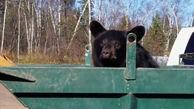 خرس ها در سطل  زباله دنبال چه می گردند + فیلم