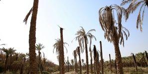 7500 نخل در خوزستان تلف شدند