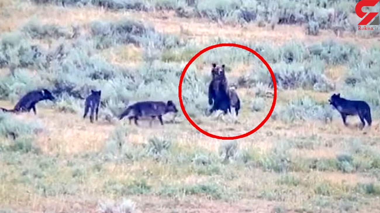 لحظه رویارویی خرس مادر با گله گرگ ها + فیلم