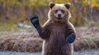 غذای عجیب توله خرس قهوه ای گرسنه در باغ وحش خرم آباد + فیلم