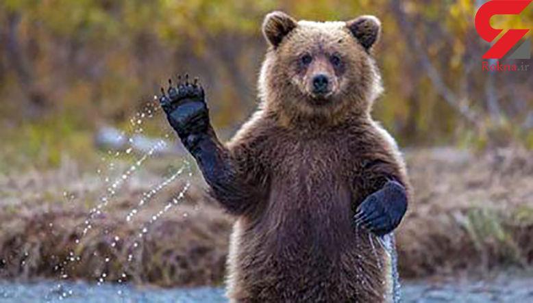 خرس قهوه ای در سوادکوه شکار دوربین شد + فیلم