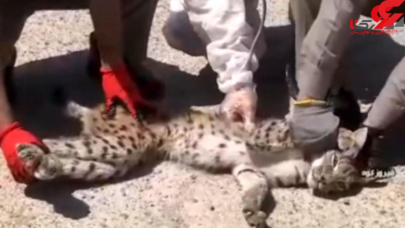 فیلم هیجان انگیر از زنده گیری یک سیاه گوش در فیروزکوه