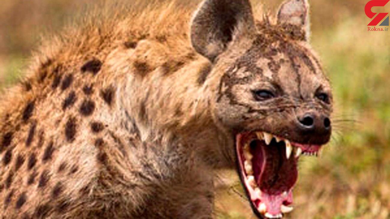 حمله کفتارهای گرسنه به یک کرگدن بزرگ + فیلم حیات وحش