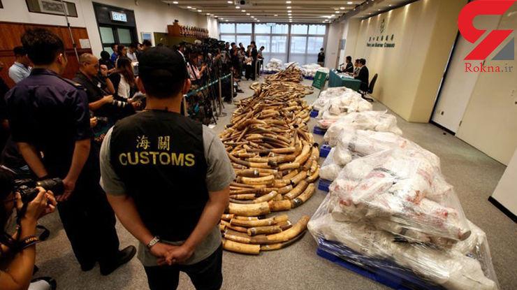 ۷ تن عاج فیل به ارزش72 میلیون دلار در هنگ کنگ کشف شد + عکس