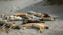 کشتار سگها با سیانور تایید محیط زیست نیست