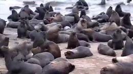 فیلم فرار شیر های دریایی از ترس نهنگ به شهر های شیلی + فیلم