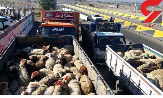 سلطان گوسفند در زنجان جولان می داد + عکس