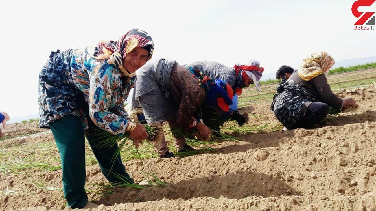 آغاز کشت نشایی پیاز در شهرستان جوین خراسان رضوی