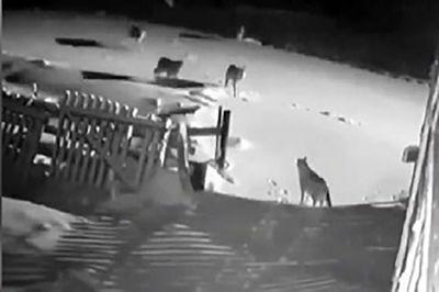 فیلم حمله مرگبار گرگهای گرسنه به سگهای  روستایی در زنجان