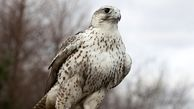 کشف پرنده ای نادر در یک خانه مسکونی در زنجان