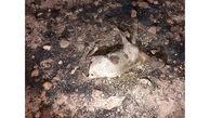 تلف شدن 100 راس گوسفند در اردبیل
