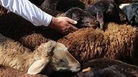 تصادف پراید با گله گوسفندان / 5 راس در شازند تلف شدند