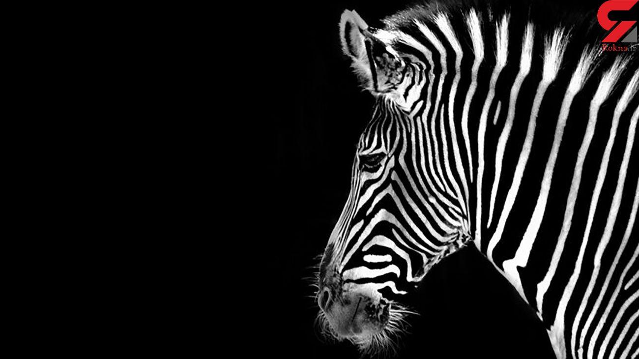دومین گورخر آفریقایی در باغ وحش صفادشت ملارد تلف شد