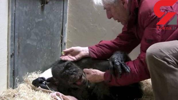 رفتار شامپانزه پیر پس از دیدن دوست صمیمی اش+عکس