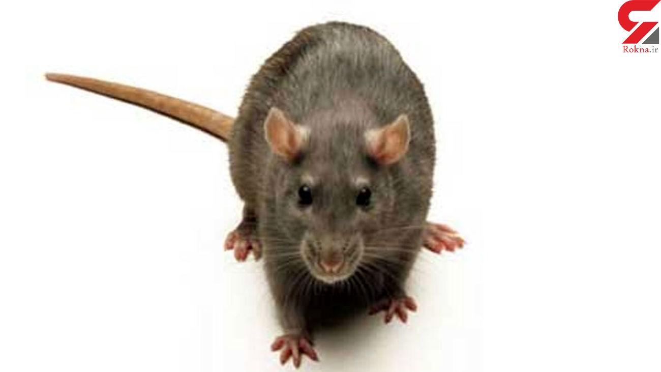 چطور موشهای خانگی را نابود کنیم؟ + فیلم