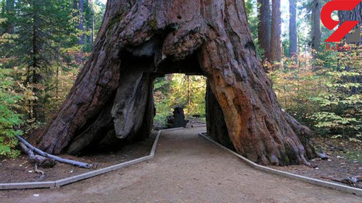 سقوط تونل درختی معروف کالیفرنیا  با توفان زمستانی+ تصاویر