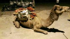 تبهکار شتر سوار در هرمزگان دستگیر شد+عکس