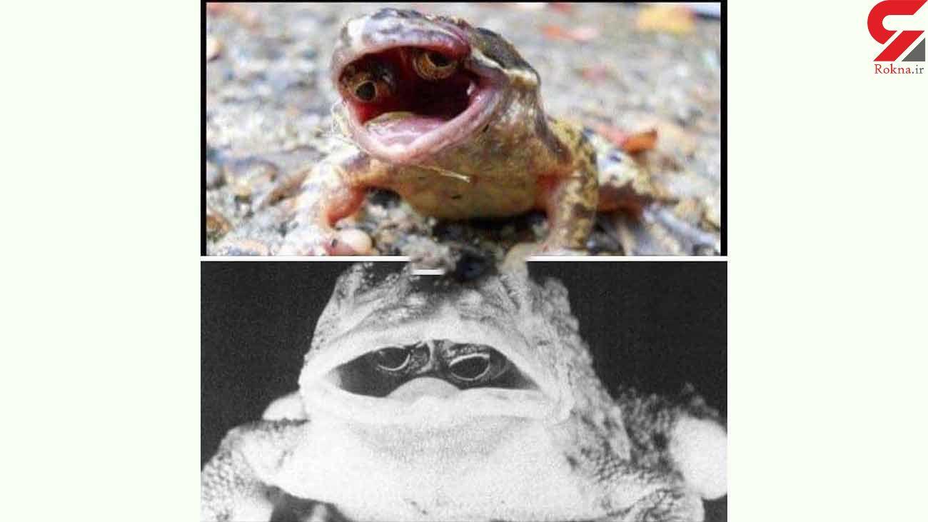 عکس / دهان این قورباغه چشم دارد !