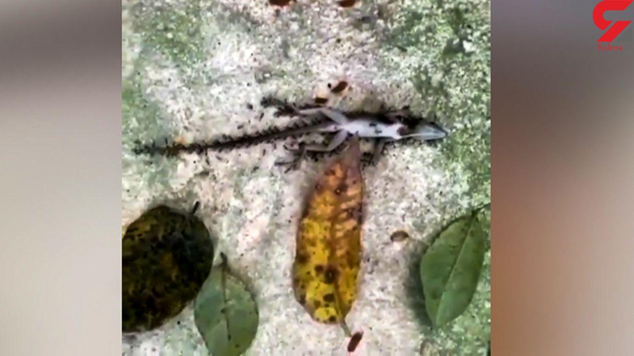 مورچه های هرکول مارمولک را کشتند و جسدش را حمل کردند + فیلم